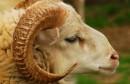 mouton_esp